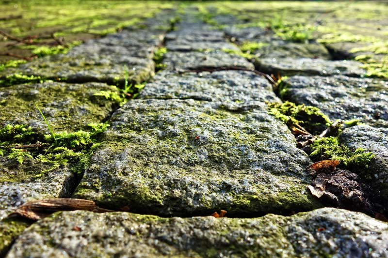 Small green plants growing across the cobble stone of a well worn path.